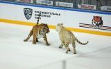 Foto: KHL kluba arēnā uz ledus draiskojas īsti tīģeri