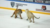 KHL kluba arēnā uz ledus draiskojas īsti tīģeri