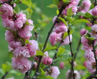 Foto: Magnolijas, rododendri, dižmandeles un citi ziedoši brīnumi LU Botāniskajā dārzā
