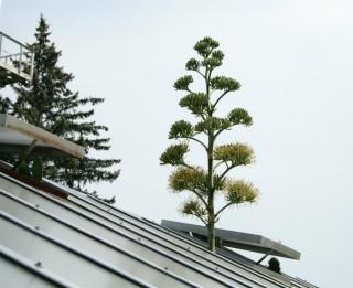 LU Botāniskajā dārzā uzziedējusi agave