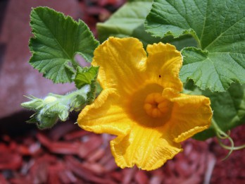Maģiskais ķirbja zieds veiksmei un labklājībai