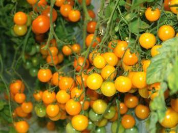Dabas muzejā tradicionālā tomātu izstāde