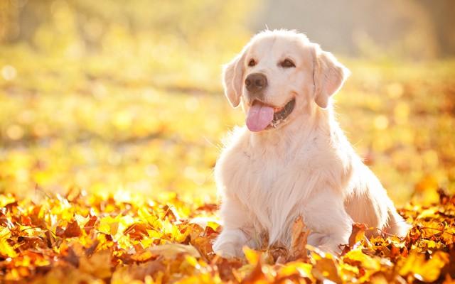 Pūkainie prieka vitamīni jeb priecīgākās suņu šķirnes – TOP 10