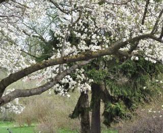 Foto: Botāniskajā dārzā uzziedējušas magnolijas