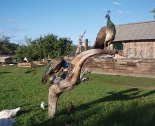 Apceļosim Latviju! Fantastiska lauku sēta ar Krāmu muzeju, Mini ZOO un dažādām aizraujošām izdarībām