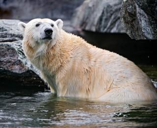 Vācijas zoodārzā miris baltais lācis, apēdot kāda apmeklētāja virsjaku un somu