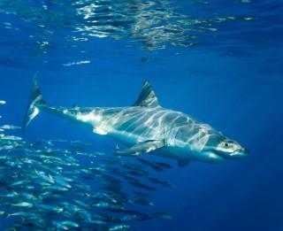 10 pārsteidzošu faktu, ko tu, iespējams, nezināji par haizivīm